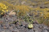 A lonely tomato thriving on Nea Kameni