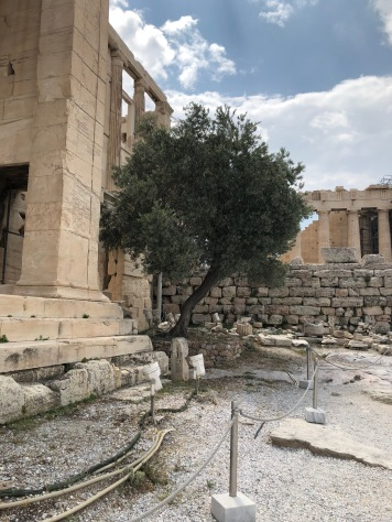 Date: June 12th, 430 BC - Traveling the two days back to the Acropolis was tough. The wind made the boat rock back and forth, but thankfully I didn't get sea sick. When I got back, I found Athena's sacred tree. Athena and Poseidon were required to fight for the possession of the city that I live in. They had to provide a gift for the city. Depending on who provided the better gift, that god/goddess would gain possession of the town. Poseidon gave the city water and Athena gave the city its first olive tree. The gods decided the olive tree was more precious because there was already water. The olive tree shown above is from the goddess Athena.(3)