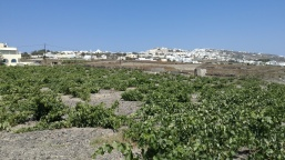 Fig. 10. Vineyards looking up upon Fira. Santorini is known for its production of wine. Approximately 80% total of all the islands in Santorini are occupied by vineyards along pumice terraces. (3)