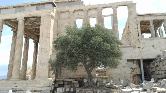 Fig. 6. Athena's tree at the Acropolis. As Greek mythology has it, Zeus challenged Athena and Poseidon over the land of what is now called Athens. Athena sprouted the olive tree out of the spring that Poseidon struck with his trident. The riches of the olive tree brought victory to Athena, and the tree has since remained highly valued in Greek culture.